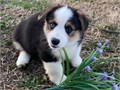 Good puppies Male an female puppy available nowthey are AKC registered vet checked For more infor