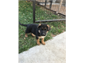 High Class German Shepherd puppy for select home If you are looking for a complete German Shepherd