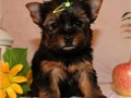 Cute dorable yorkie puppies MaleFemale various ages 3 to 6 lbs full grown have vaccinated and d