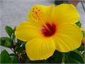 gorgeous 5 gallon 6 feet tall golden Yellow Hibiscus large edible flowers used to make Jamaica punch