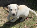 I and my fiance bought this beautiful Labrador puppy 3 weeks ago he is a male a