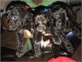 Small Toy poodle 1 girl This Toy poodle is soft plush fluffy black with blue eyes Dewormed pad tr