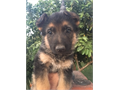 German Shepherd Puppies great pets smart obedient good with kids and great watch dogs The paren