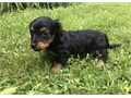 Shy Miniature Dachshund puppies availableThese puppies akc registered  vet checked and will come w