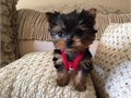 Both of these babies are top shelf Yorkie they dont get much better than these registered stunning