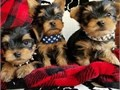Yorkie puppies for good homesAdorable tiny yorkie puppies with teddy bear faces full breed These