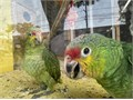 Hand fed baby Red Lored Amazon 8weeks old Beautiful colors only 2 left Text only