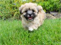 Super ADORABLE Female Mal Shi Teddy Bear Puppy named KONA  Breed 50 ShihTzu  50 Maltese  Mal