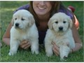 Trained Golden RetrieversMFs10wks Shots UTD with papersFor instant feedbackTextCall510 229-