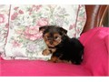 Teacup Yorkie PuppiesVery friendly outgoing pup Vet checked wormed and vaccinated up to date M