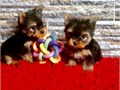 Seeking a good home for my Yorkie  puppies They have great temperament towards people and gets alon