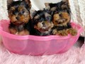 Male and Female YORKIE Puppies Available To Loving Homes These sweet girl and