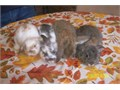 Mini lops baby bunnies ready for adoption Babies are born and raised indoors they are liter box tra