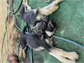 2 German Shepherd Male Puppies2 months oldFirst set of vaccinations and deworming Rehoming f