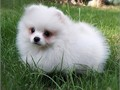 Excellent male and female Pom puppies searching for sale 500 each and they are very healthy akc reg