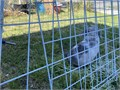 I have twoHolland lop bunnies I dont know the gender  if interested contact me no emails