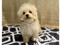 Toy Maltipoo Puppies