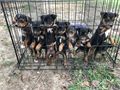 Feist puppies Will be 8 weeks old on 9-21 Males and females available