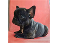 7 week old AKC Female Frenchies Carry Blue Awesome Structure and Temperament Big heads Excellent