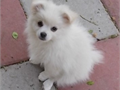 Pomeranian Male PUPPY  62500 Nice  Ply fool With A Fool Set Of Hair VET CHECK IN GOOD HEALTH WIT