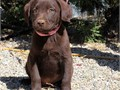 Chocolate Lab puppies available to new home 6 boys and 4 girls Both parents are chocolate color P