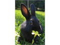 Baby bunnies Mini Rex and Polish born in February males and females in black  Will be between 35