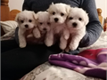 Hello We have Pure White Maltese Pups available they are 100 healthy 1st and 2nd shots taken Mu