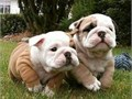 hi we have two lovely english bulldog they are good with kid and will come with all papers contact 4