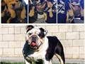 Stud service only Taz is a well structure healthy black tri  akc bulldog also register with ioeba