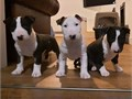 Hand Raised Male and Female Bull Terrier Puppies available for saleText or call     630 384 - 209