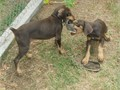 DOBERMAN PUPSAKC PapersMicrochippedTaildewclaws donePedigreeShotsDewormed48 hrs to take to y