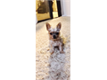 Rehoming toy yorkies tricolor will be ready end of march beginning april born jan 9 3 boys 1 girl t