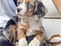 contact with your phone number for more information about the Australian shepherd boy and girl puppi