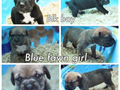 pure black and blue litter of champions cane corso pups iccf ready in 8 weeks make payments tell pic