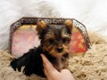 Yorkie puppies available for sale contact 3044056635