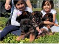 Omen  Brabus dad imported Europe Garys son world champion Puppies available akc dewormed 2 vaccinat