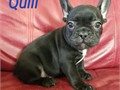 Akc registered French bulldog pupsUtd on shots and vet checked and ready to go Males and females