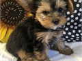 Super adorable Teacup Yorkie Puppies So gentle and affectionatemore detail and