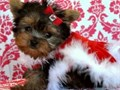 Yorkie puppies available They are 11 weeks old and up to date on all shots and vaccines Very frien