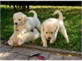 Golden Retriever puppies All of the puppies are vet checked vaccinated wormed and health guarante