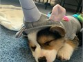 Hello we have lovely and well socialized male and female Pembroke welsh corgi puppies seeking their