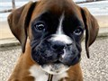 TYSON 12wks oldMeet Tyson he is a very charming little puppy He is AKC registered up to date