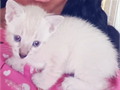 Beautiful solid white blue eyed ragdoll female kitten She is absolutely precious  A negotiable p