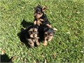 We have 5 Potty Trained Yorkie Puppies 3 females and 2 males they are 12 weeks o