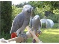 JKGJGDHFFGbfb Talking and singing pair of parrots 1 male and 1 female now ready for saleFor more in