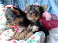 YORKIES PUPPIES FOR SALE WE HAVE MALE AND FEMALE AVAILABLE NOW you will fall in love they are super