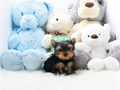 name  Jojo Teacup Yorkie MaleDOB  0327 2016estimated size  3-4 poundsckc registered on