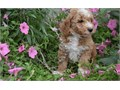 Golden doodle puppies up for adoption for more info and pics send text to 2132755429