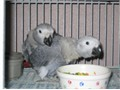 Healthy and well trained  Congo African grey parrots in need of a new and loving home For details a