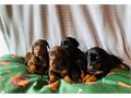 Doberman puppiesAKC DOBERMAN PUPPIES FOR SALE come with first shots wormed